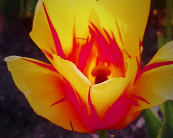 Yellow/Orange Tulip