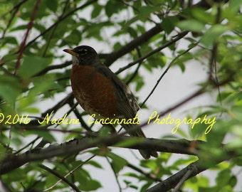Digital Download - Robin