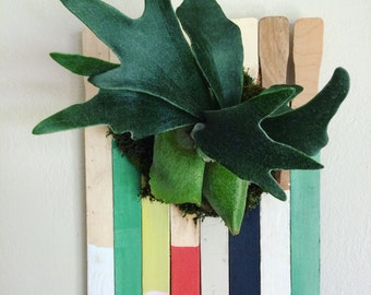 Staghorn fern mounted on paint sticks