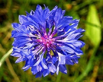 35+ Cobalt Bachlor's Button Cornflower Centaurea Flower Seeds
