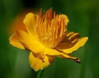 40+ Golden Queen Trollius Globe Flower / Perennial Flower Seeds