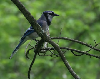 Blue Jay at home - A7 greeting card