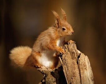 Photographic Print - Red Squirrel - Photography of Wildlife