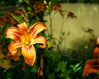 Orange Flower, Orange Lily, Flower photography, nature photography, color photography, wall art, home decor, canvas print, gallery wrap