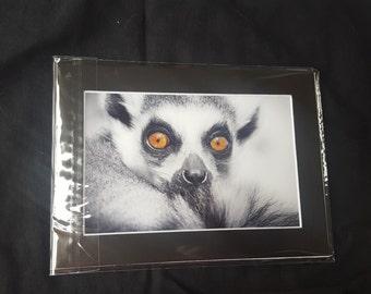 Ring-tailed lemur photo