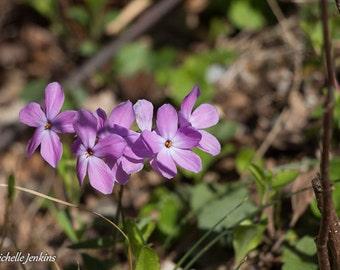 Smooth Purple Phlox Nature Print, Flower, Bloom, Spring, Summer, Wildflower