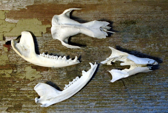 Real Partial Opossum Skull with Jaw Bone