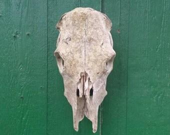 Beautiful cow skull