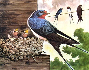 """Swallow - 1962 Vintage Bird Print - British Birds and Nests - Naturalist Print for Framing - 9"""" x 7.5"""""""