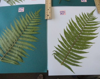 Choose your Real Fern Grown in Alaska Pressed, Preserved, Dried 478 FL