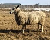Custom Order for DutchieinToronto - Blue Faced Leicester fleece, clip from 2015