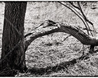 Black and White Photo Print, Split Tree Trunk and Cast Shadow, Stark Moody Nature Photography, Archival Fine Art Digital Photo Print