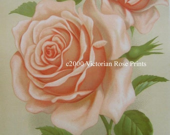 Pink Cabbage Roses, Art Print, Half Yard Long, La France Rose, Shabby Chic