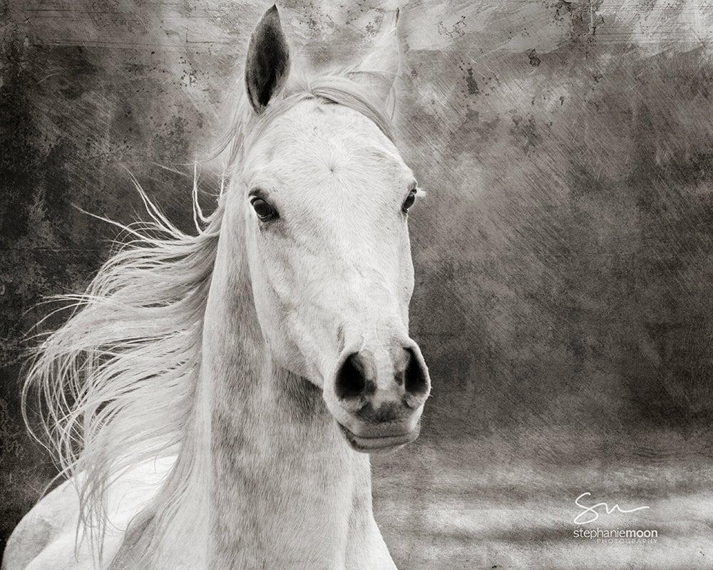 Gray Arabian Horse Black and White Horse Photography Fine