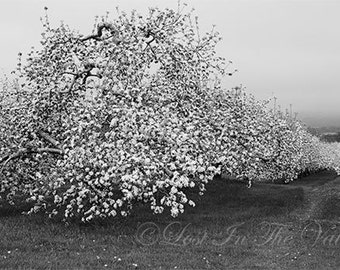 Apple Blossom Photograph, Landscape Photography, Farmhouse Decor, Photo of an Orchard, Pastoral View, Scenic Picture, Black and White Print