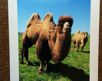 Camels Photo Note Cards - Set of Ten