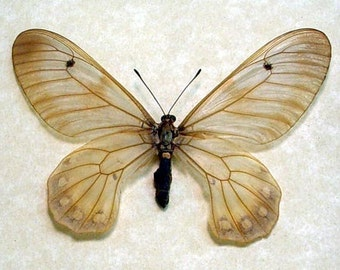Real Rare Cressida Cressida Insularis Female Framed Clearwing Swallowtail Butterfly 7727