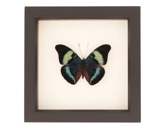 Real Butterfly Display Panacea prola