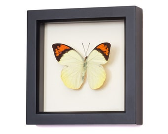 Great Orange Tip Real Framed Butterfly Display