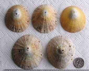 5 Large Sea Shells Dangle Connectors 7 Holes Drilled 3mm holes Craft Supplies (1734)