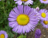 Organic Fleabane Daisy // Showy Fleabane Seeds // Purple Daisy Seed Packet with 100 Seeds