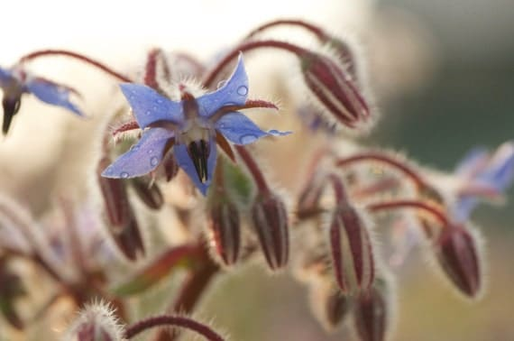 Borage Seeds - Naturally Grown Edible Blue Flowers for your Organic Garden