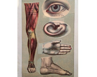 1903 HUMAN ANATOMY LITHOGRAPH original antique medical anatomy print layers of body parts