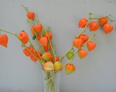 Dried Chinese Lantern seed pods and stems. Halloween . Physalis alkekengi plants, for crafts and arrangements LOT B