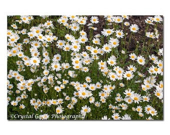 White Daisy Floral Photography, French Country Chic, Wildflower Fine Art, Nature Themed Outdoor Print, 8x10, 11x14, 8x12, or 12x18 Inches