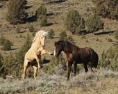 Wild Horses Sparring, wild mustangs, Oregon, mustangs, equine, wild horse