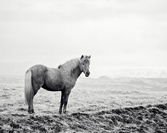 Black and White Icelandic Horse Photograph, Equine Art