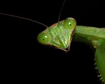 Peeking Mantis 8x10 Fine Art Print - Macro Green Insect Nature