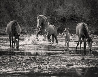 Wild Salt River Horses Stallion Black and White