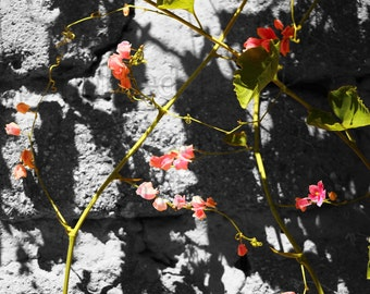 Stones & French Fuchsia Black and White Photograph Brilliant Pink Flowers Climbing Stone Garden Wall Sweet Pea like flowers