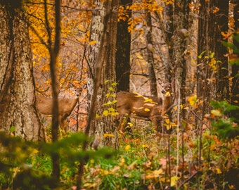 Wildlife Photography doe and fawn,autumn landscape,white tailed deer in nature,fall colors,fine art photography,wildlife decor,forest animal