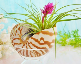 Nautilus Planter ~ Real Sea Shell ~ Tillandsia Stricta or Houston Air Plant with Plexiglass Stand ~ May not be in Bloom ~ Birthday Gift