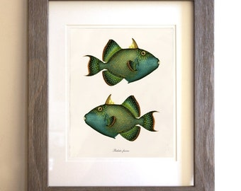 Antique Fish Art Print - Home Decor - Balistes fuscus 2
