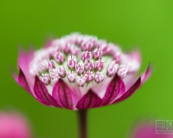 Pink Astrantia, Macro photography, Astrantia flower, Dreamy flower photo, Nature photography, French country home, Livingroom wall art