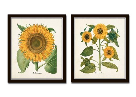 Vintage Sunflower Wall Decor : Antique sunflower print set no botanical