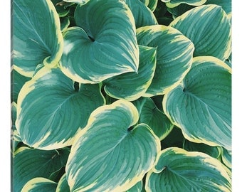 iCanvas Some Like It Hosta Gallery Wrapped Canvas Art Print by Chelsea Victoria