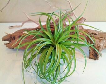 Large Air plant - Brachycaulous  - Diy projects - Terrariums - Moss - Plants - Housewarming gift