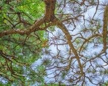 Pine Tree Limbs Against the Sky Landscape Print, Nature photography, Tree Landscape Photograph, Tree Home Decor
