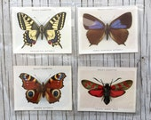 Vintage beautifully Illustrated large size Butterflies & Moths cigarette cards. 1938. Listing is for 4 cards.