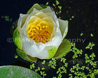 Cottage Decor White Yellow Green Waterlily Nature Macro, Garden Flower Photography, Fine Art Photography matted & signed Original Photograph