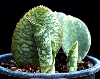 Whale Fin, Sansevieria, masoniana, dramatic houseplant, giant succulent, 5 rare seeds, drought tolerant, Masons Congo, collectors plant