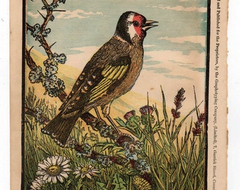 Antique print The Goldfinch bird print 1870