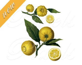 LEMON Instant Download Digital Downloads, citrus botanical illustration, yellow fruit clipart 472