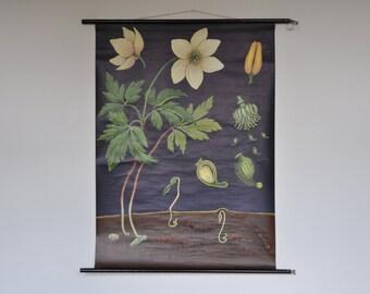 Original Mid Century Botany Print. Wind flower (Anemone nemorosa). Pull Down School Chart. Jung Koch Quentell. Germany. 1151