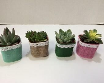 Succulent Plants. 40 Gorgeous Favors with Succulent Plants, Pots with Burlap, Lace and Ribbon Trim.