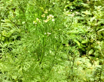 Cilantro Seed (20 ct)